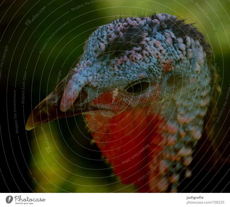 Truthuhn Truthahn Vogel Tier Bauernhof Feder Schnabel Haare & Frisuren rot Aggression Feiertag Lebensmittel Farbe Kamm Stolz Außerirdischer festtagsbraten Auge