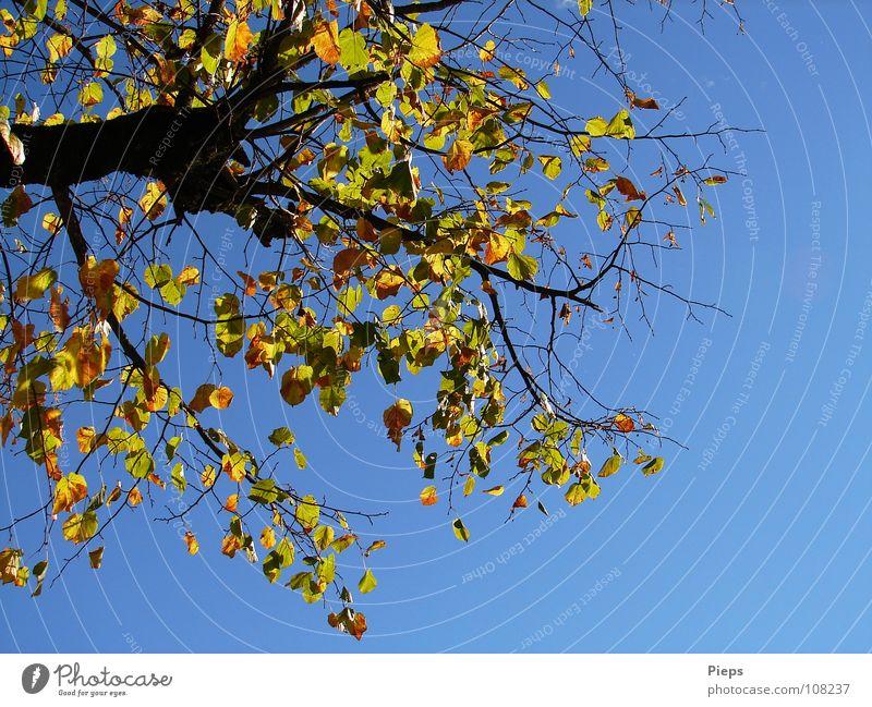 Frau Linde entblättert sich Farbfoto Außenaufnahme Hintergrund neutral Landschaft Pflanze Himmel Herbst Wetter Baum Blatt alt fallen gelb Vergänglichkeit