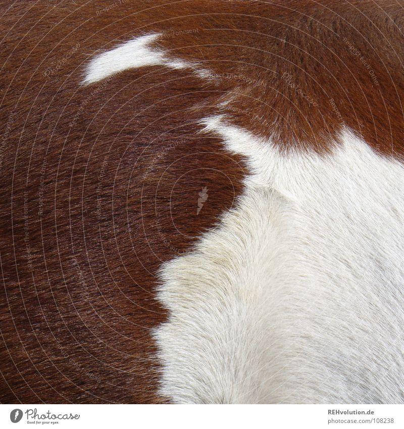 scheckig Pferd Fell Schecke braun weiß Sauberkeit Ausritt Tier Säugetier Spielen Bürste Verwirbelung Seite Haare & Frisuren Pony Reitstunde xxee