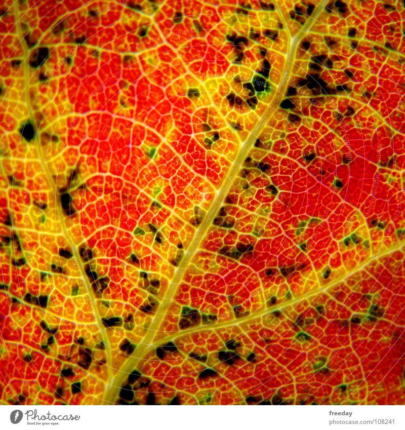 ::: Abbau von Chlorophyll ::: Natur Pflanze grün Baum rot Blatt schwarz kalt Umwelt Wärme Leben Gefühle Herbst Farbstoff Hintergrundbild Tod