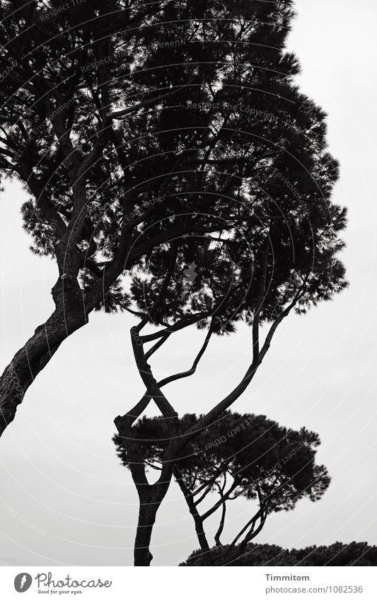 Irgendwo in Italien. Himmel Natur Ferien & Urlaub & Reisen Pflanze Baum dunkel schwarz Umwelt Gefühle natürlich grau Park Wachstum ästhetisch Pinie