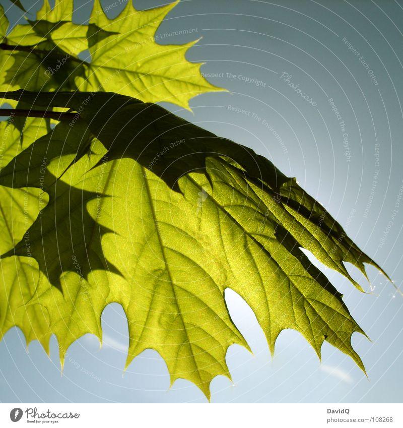Spitzahorn Frühling Sonne Ahorn Blatt Photosynthese Wachstum sprießen grün frisch durchscheinend exponiert Gefäße Kanada Vergänglichkeit Blick in den Himmel