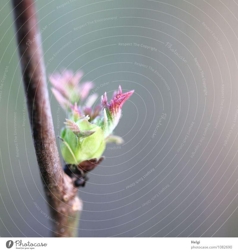 natürlich | wirds jetzt Frühling... Umwelt Natur Pflanze Sträucher Blatt Wildpflanze Blattknospe Zweig Wald Wachstum ästhetisch frisch schön einzigartig klein
