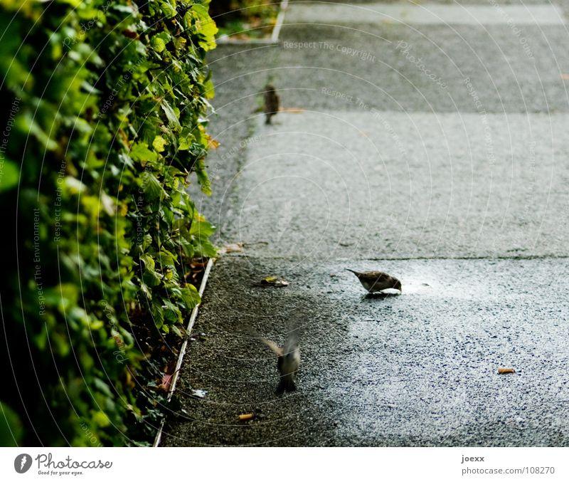 Der Spatz vom Wallrafplatz Sträucher Teilung grün Hecke nass Pfütze Platz trinken Vogel Verkehrswege Bodenbelag fliegen Regen Verabredung Wasser Wege & Pfade
