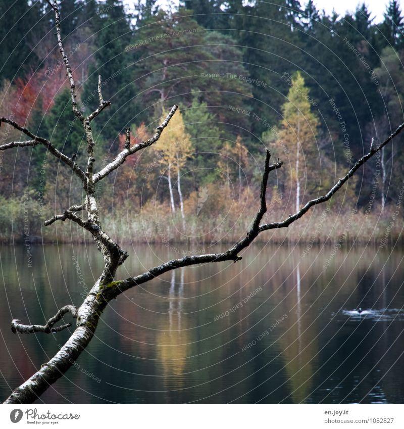 Farbspiele harmonisch Erholung ruhig Ausflug Natur Landschaft Pflanze Herbst Ast Wald Seeufer Schwansee grün Romantik Traurigkeit Idylle Symmetrie Trauer Umwelt