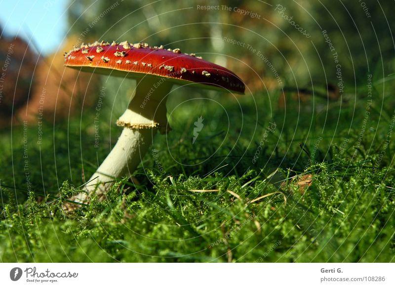 flexible beweglich Fliegenpilz Waldboden Herbst Gift Flocke Rauschmittel Symbole & Metaphern stehen Wachstum grün Sonnenlicht gekrümmt Biegung krumm Gras Wiese