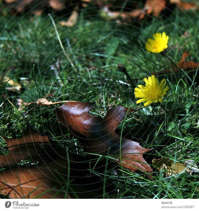 Pärchen 2 Zusammensein Herbst Jahreszeiten Waldboden Wiese Blatt Herbstlaub fallen Blume gelb Halm braun grün Wachstum Sonnenlicht herbstlich Rasen Bodenbelag
