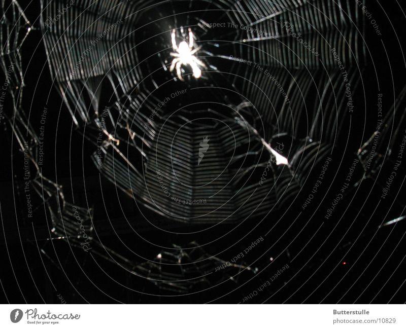 Im Netz Natur gruselig Spinne Spinnennetz