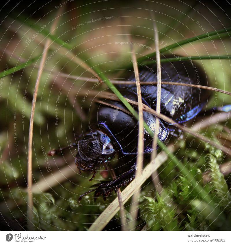 Mistkäfer blau glänzend violett Insekt Moos Käfer krabbeln Tannennadel schillernd Kiefernnadeln