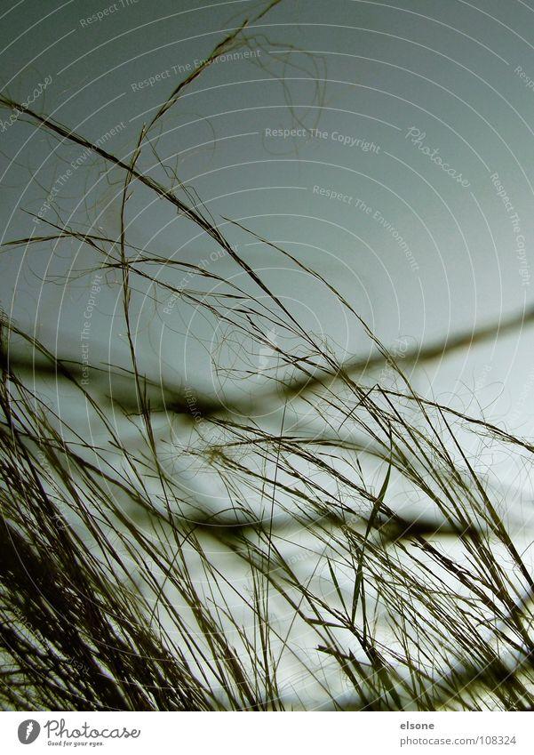 ::MEADOW:: Gras Halm Sträucher Pflanze grün Herbst grau Linie Unschärfe quer diagonal sehr wenige einfach Gewitter wiesa Weide Natur Amerika Wind Stranddüne