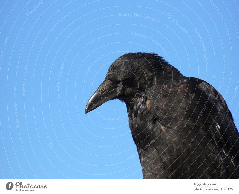SPIESSER Rabenvögel Vogel schwarz Schnabel beobachten Kontrolle besitzen Feder Konzentration Kampfsport blau tagstiles hinsehen erspähen im Auge