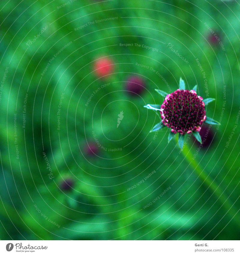 möchtegernStern grün mehrfarbig Blume Blüte Blühend Blumenwiese Blumenfeld mehrere Knöpfe Stengel violett rot Herbst Stern (Symbol) Blütenblatt Farbe