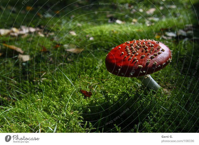 Schätzchen Fliegenpilz Waldboden Herbst Gift Flocke Rauschmittel Symbole & Metaphern Wachstum grün Blatt dunkel Gegenlicht Dämmerung Sonnenlicht Physik