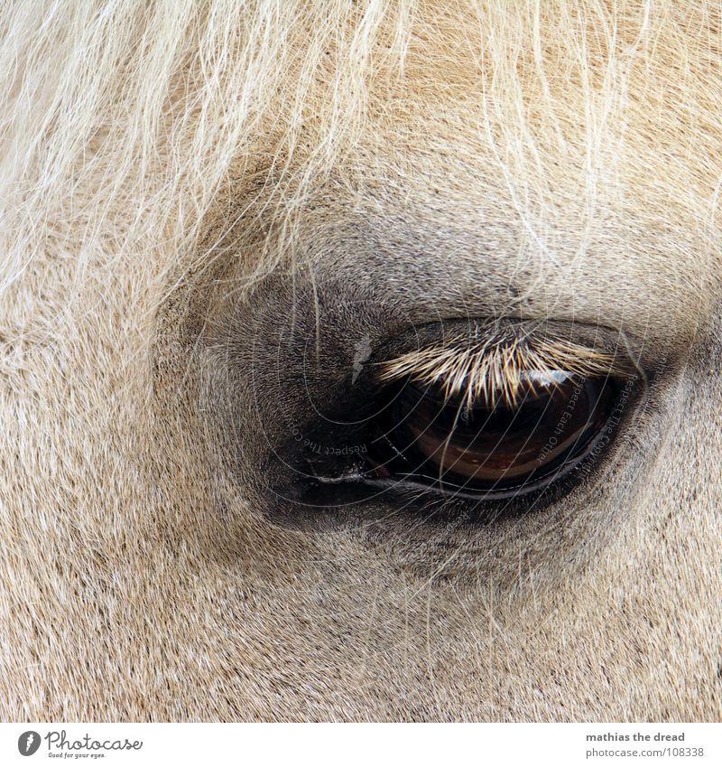 Treuer Pferdeblick I Wimpern dunkel groß Trauer Säugetier Fell Verzweiflung Blick Augenschlag nah Traurigkeit Huftier Landtier Haare & Frisuren hell
