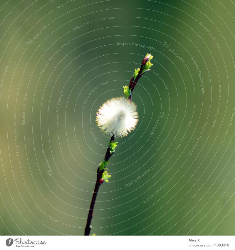 Heuschnupfen-Alarm Krankheit Allergie Natur Frühling Schönes Wetter Pflanze Blüte Garten Park Blühend Weidenkätzchen Pollen Pollenflug Ast Zweig Zweige u. Äste