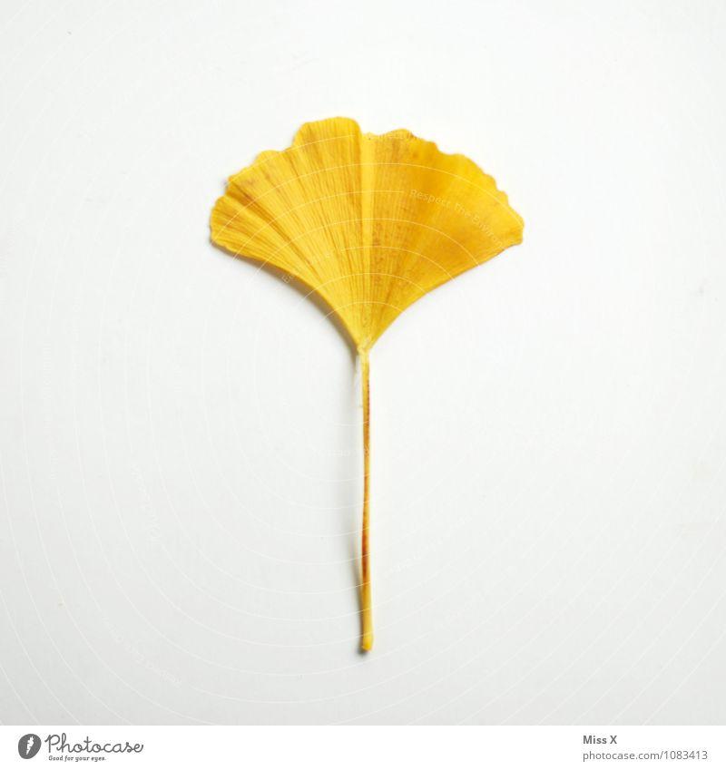 gelb und gut fürs Hirn Gesundheit Gesundheitswesen Alternativmedizin Medikament Herbst Blatt Ginkgo Herbstlaub Herbstfärbung Fächer Gehirnwäsche vergessen