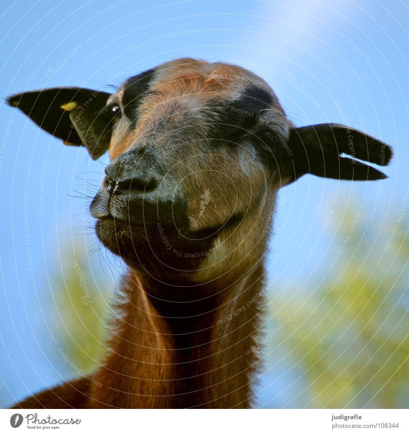 Dörte Himmel Tier Farbe Schilder & Markierungen Ohr Neugier Fell Schaf Säugetier Haustier Ohrringe Nutztier