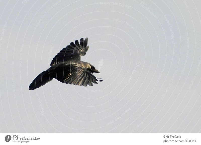 Dohle Himmel schwarz Vogel fliegen Luftverkehr Rabenvögel