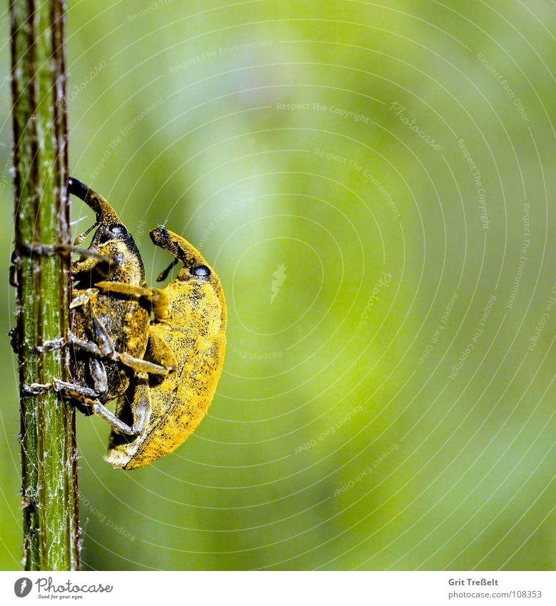 Rüsselkäfer Insekt Wiese Halm grün Körperhaltung Käfer Blick Rasen