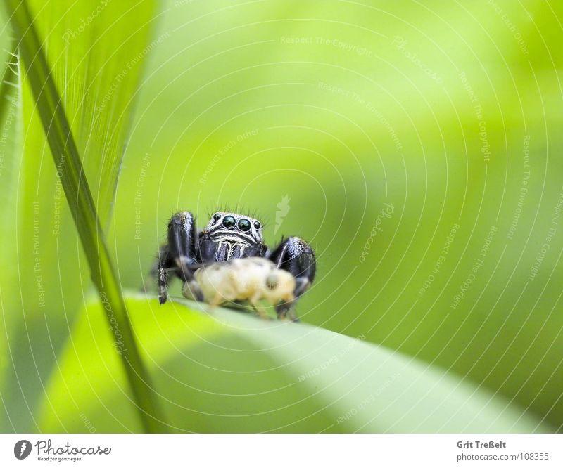 Springspinne springen grün Spinne Makroaufnahme
