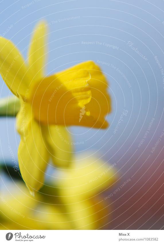 Frühling ist da Garten Natur Wolkenloser Himmel Wetter Schönes Wetter Blume Blüte Blühend Duft gelb Stimmung Frühlingsgefühle Gelbe Narzisse Frühlingsblume