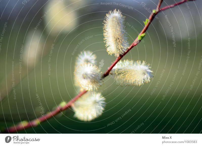 nochmal Frühlingserwachen Krankheit Allergie Garten Schönes Wetter Blatt Blüte Blühend Weide Weidenkätzchen Pollen Pollenflug Heuschnupfen Ast Zweig