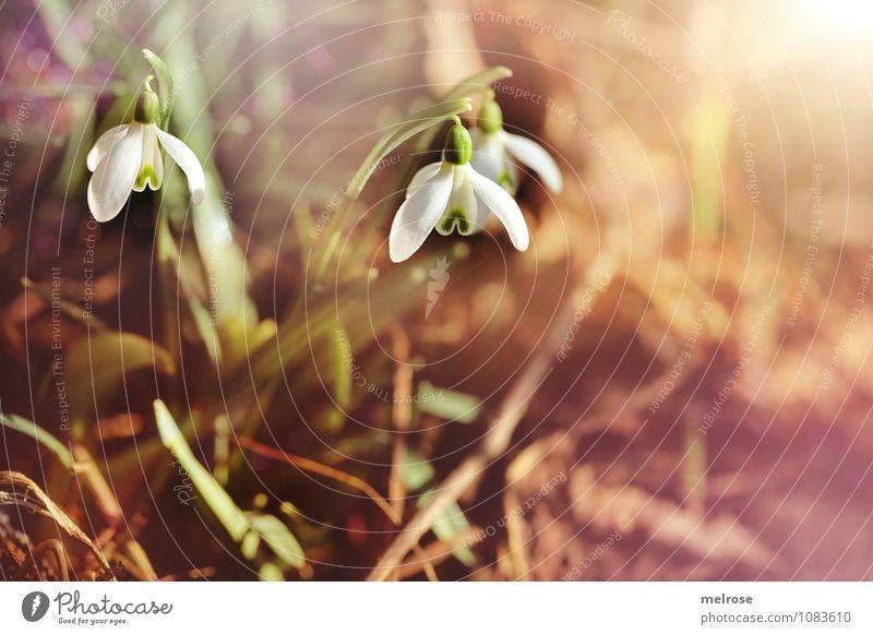 Morning sunshine Stil Valentinstag Natur Erde Frühling Schönes Wetter Blume Gras Blatt Blüte Schneeglöckchen Frühblüher Frühlingsknotenblumen Amaryllisgewächse