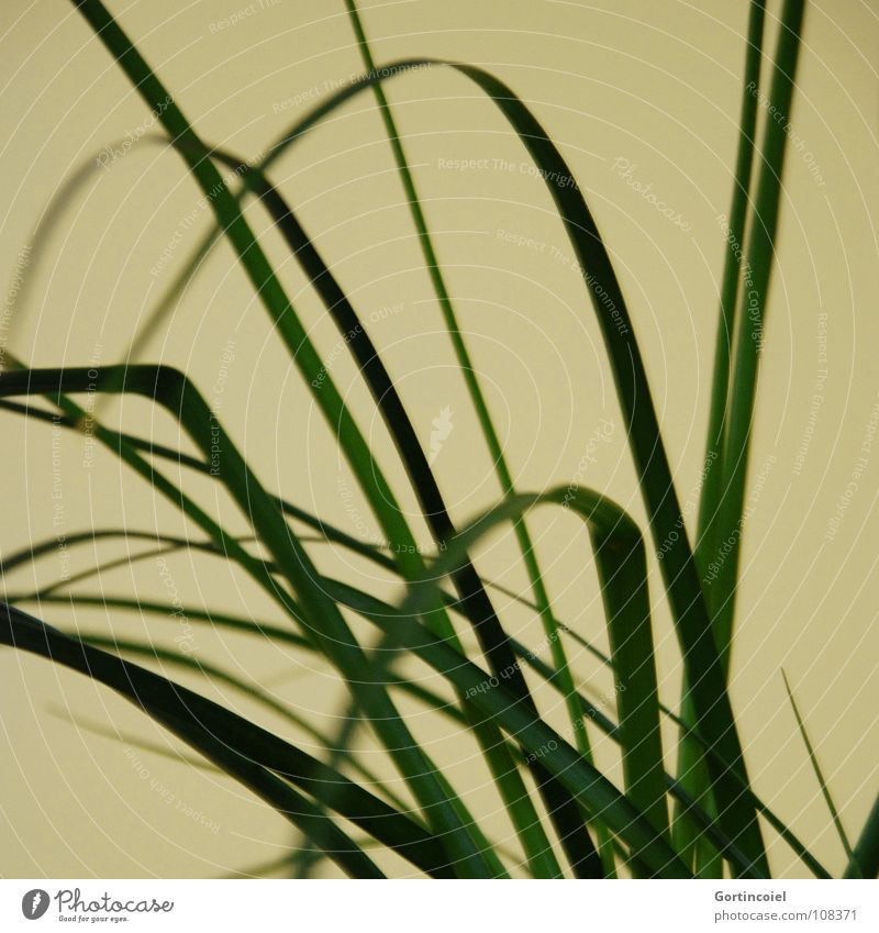 Gras I grün Pflanze Freude gelb Linie Dekoration & Verzierung Streifen Lebewesen Kurve Halm Kohlendioxid Sauerstoff Topfpflanze