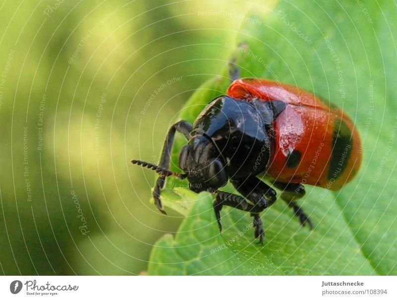 Frisch gestrichen Marienkäfer grün rot Insekt Tier glänzend lackiert Blatt igitt süß Desaster Makroaufnahme Fühler Sommer Blattläuse Glücksbringer Erfolg Käfer