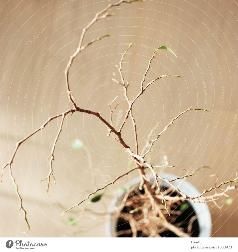 Ficus Benjamini Wohnung Pflanze Blatt Grünpflanze Topfpflanze Feige Birkenfeige verblüht dehydrieren kaputt Krankheit trist trocken braun Optimismus Hoffnung