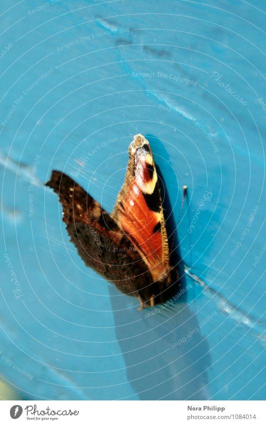 ... Tier Frühling Sommer Totes Tier Schmetterling 1 Holz liegen ästhetisch schön blau Tod Muster Fühler Lebewesen Strukturen & Formen Neigung Flügel Schatten