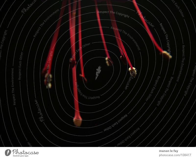 zart-rot Fuchsie schwarz weiß Pflanze Blüte skurril Leben Blütenstempel Staubfäden außergewöhnlich Zimmerpflanze Nacht nah Makroaufnahme Nahaufnahme Natur
