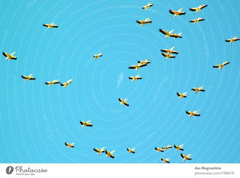 Die Vögel Vogel Zugvogel Pelikan türkis Herbst Oktober mehrere Afrika Himmel blau Ferne frei Wildtier Vogelflug Flügel Schwarm viele