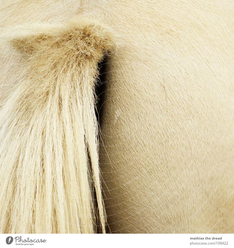 Von Hinten Pferd Tier Säugetier Nüstern Öffnung Borsten glänzend Haaransatz weich Zoo Streichelzoo Hinterteil Schwanz Haare & Frisuren Glätte Lichtverlauf