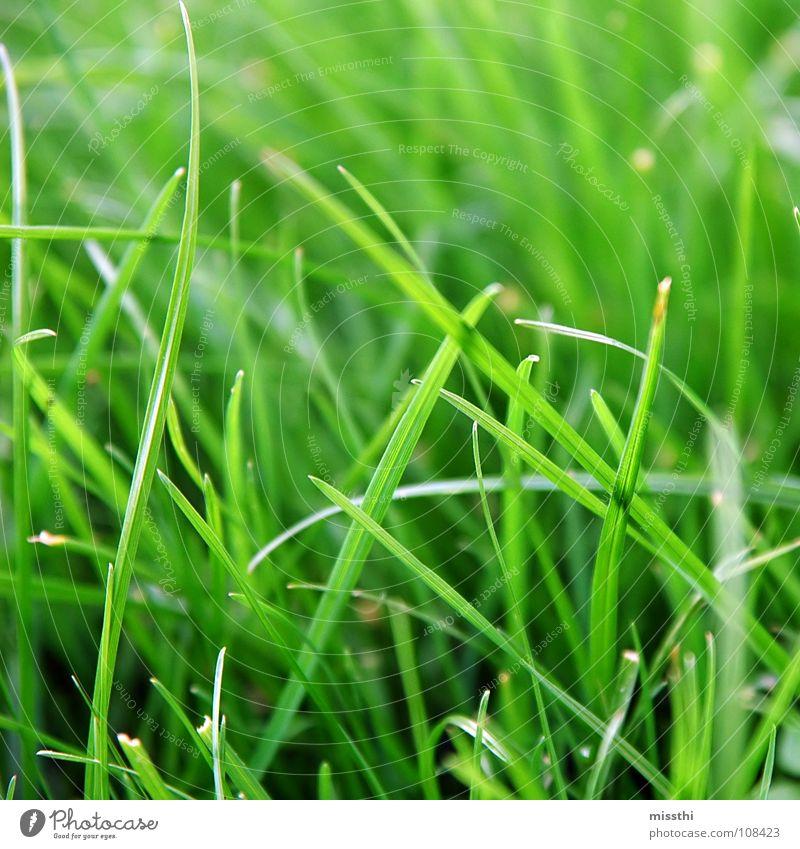Gras im Quadrat grün Wiese frisch knallig nah Halm Grünfläche Garten Park Rasen Natur Makroaufnahme grass leuchten Außenaufnahme