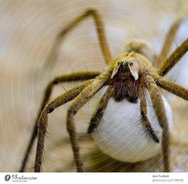 Werdende Mama Spinne Kokon Beine Ecklig