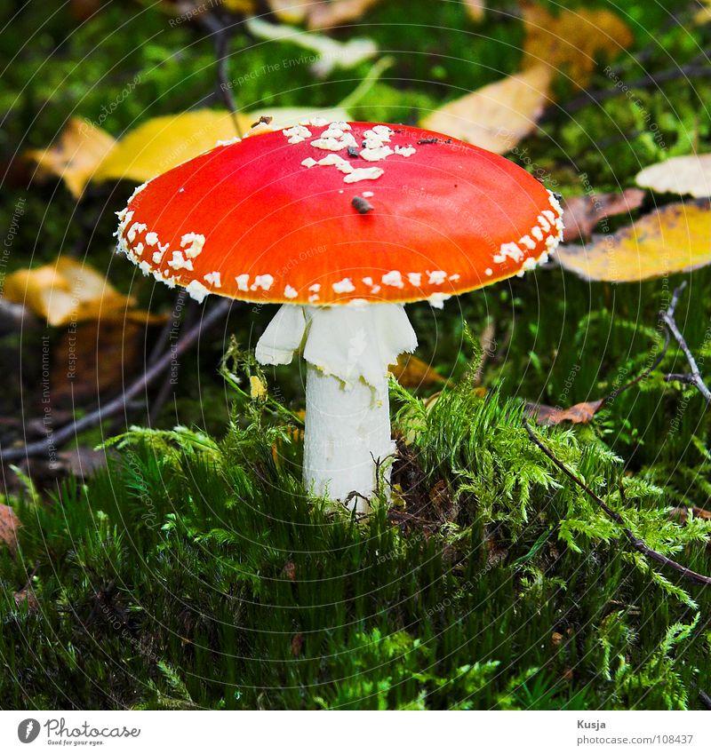 Amanita Muscaria weiß grün rot Blatt gelb Herbst Fuß Ast Hut Alkoholisiert Gift Fliegenpilz