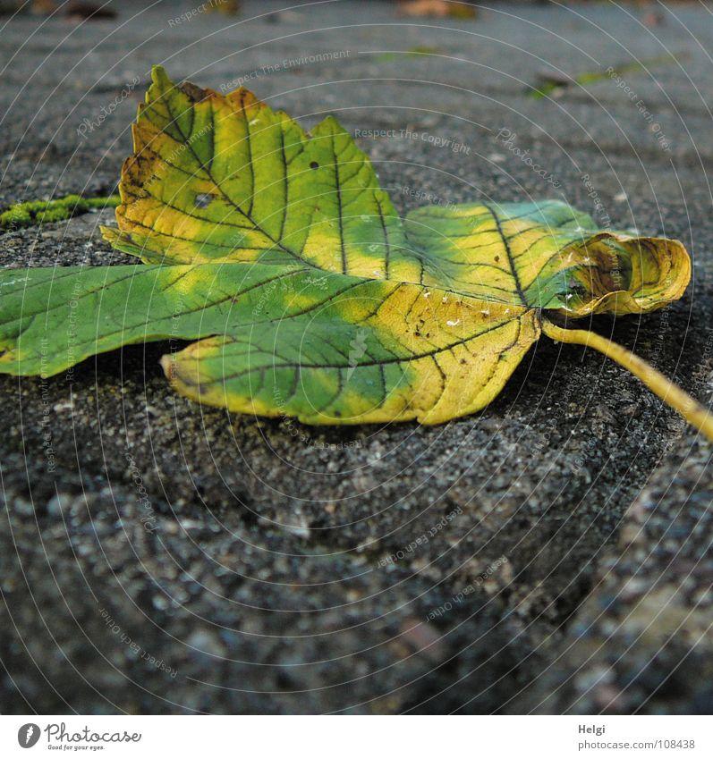 runtergefallen... Herbst Blatt Ahorn Ahornblatt Stengel mehrfarbig grün gelb braun Herbstfärbung wellig gekrümmt Baum Gefäße Vergänglichkeit Garten Park