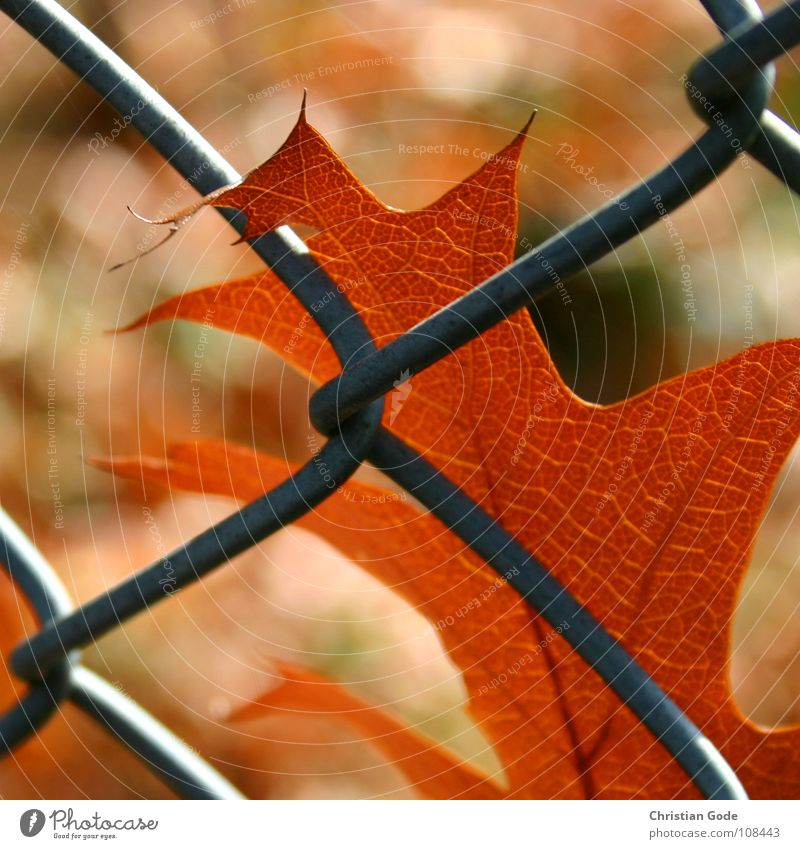 Gefangen Herbst Blatt Zaun braun grün Baum Maschendraht Maschendrahtzaun Jahreszeiten Sommer Winter Grenze Geborgenheit Ahorn Eiche Erlen Tennisplatz Parkplatz