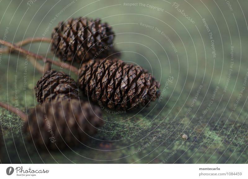 erlenzapfen Umwelt Natur Pflanze Herbst Winter Grünpflanze Wildpflanze Erlen Zapfen alt authentisch einfach klein nah natürlich rund trist trocken wild braun
