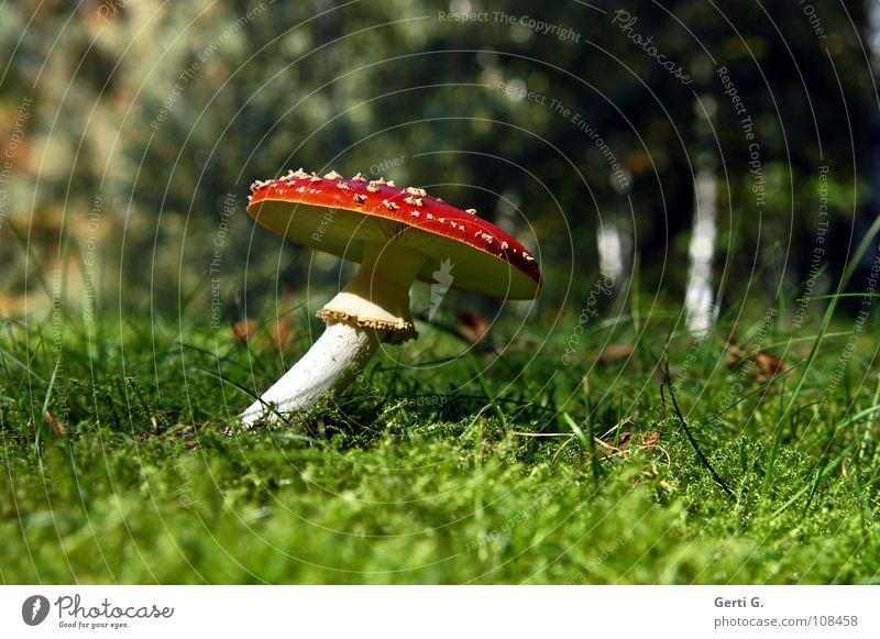 twisted beweglich Fliegenpilz Wald Waldboden Herbst Gift Flocke Rauschmittel Symbole & Metaphern stehen Wachstum grün Sonnenlicht gekrümmt Biegung krumm Gras