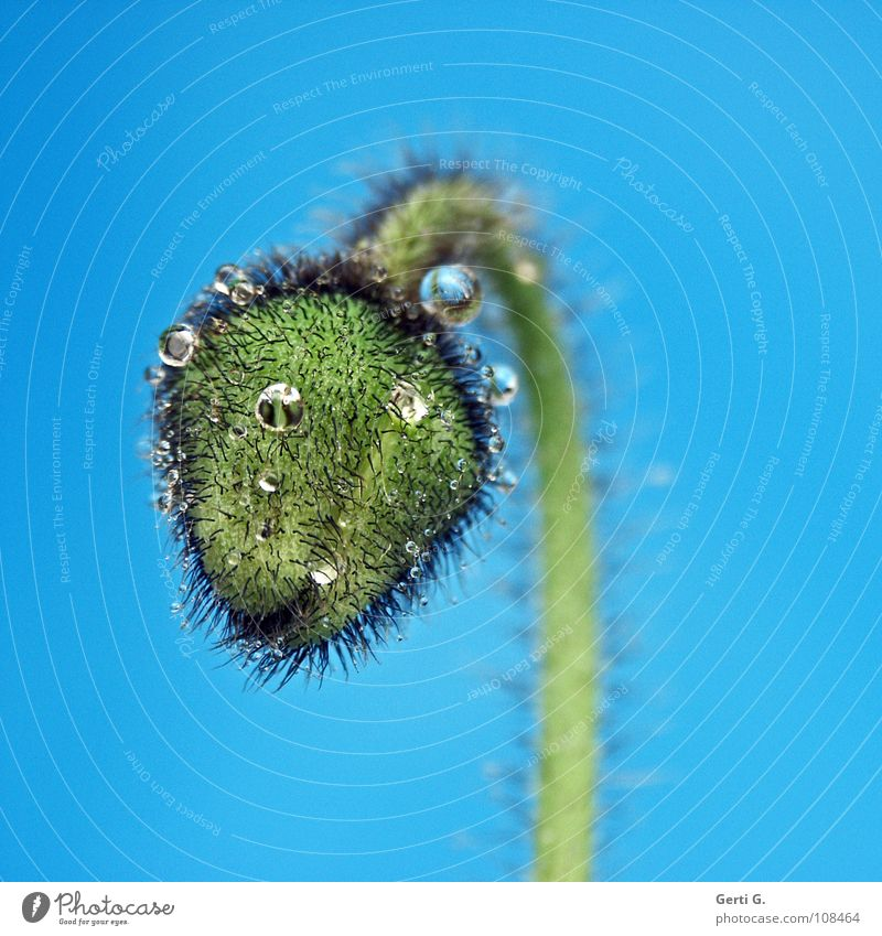 Einzelgänger Blume Blüte grün harmonisch Klatschmohn Mohn Mohnkapsel Pflanze türkis stachelig nass Wassertropfen hydrophob rund blau-grün grün-blau