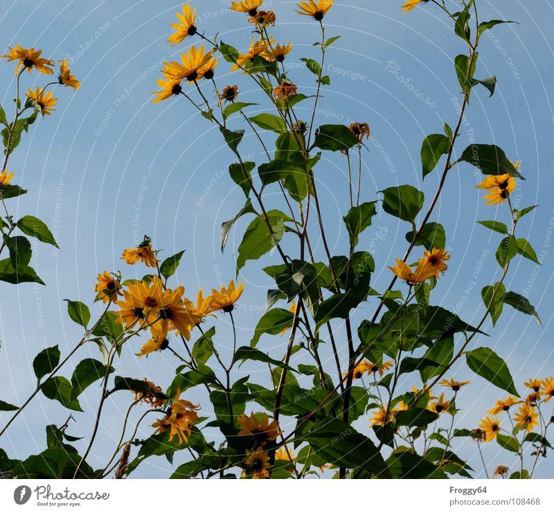 Herbstblüten Sommer Pflanze Botanik Pflanzenteile pflanzlich Umwelt Sonnenblume himmelblau Blume Blüte Stengel Gegenlicht Froschperspektive Schönes Wetter