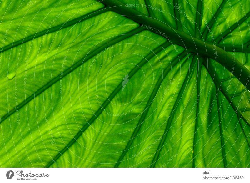 Das Blatt 21 Natur grün schön Pflanze Umwelt Sträucher Urwald Botanik Südamerika Wildnis krumm pflanzlich Gewächshaus Freiburg im Breisgau Kletterpflanzen