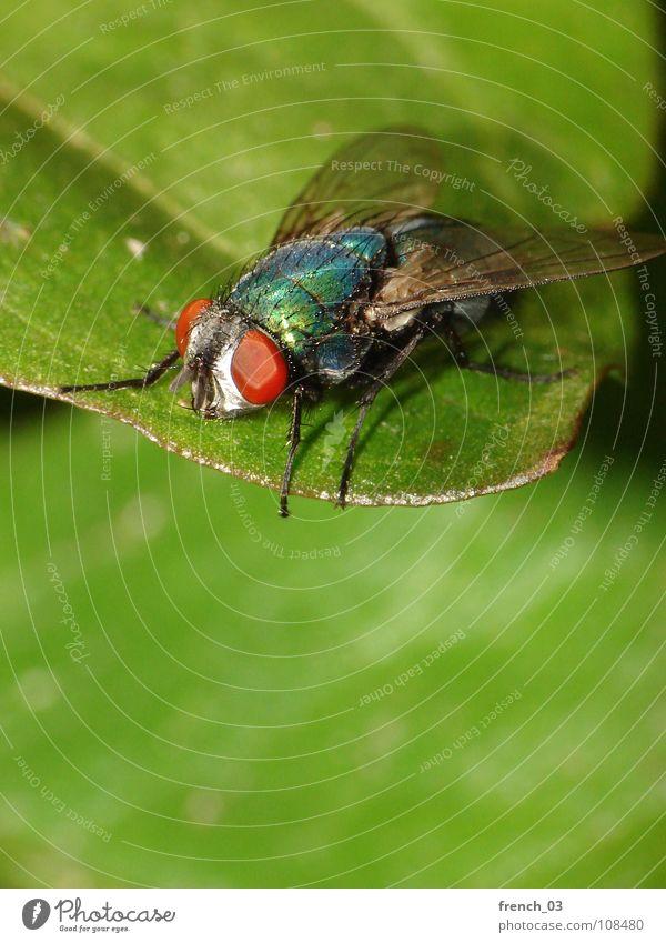 Hoch oben (Makro-Fliege 4) stark groß Blatt faszinierend grün klein rot Insekt leicht Schweben Facettenauge Beine Schmeißfliege Goldfliege schillernd Reihe