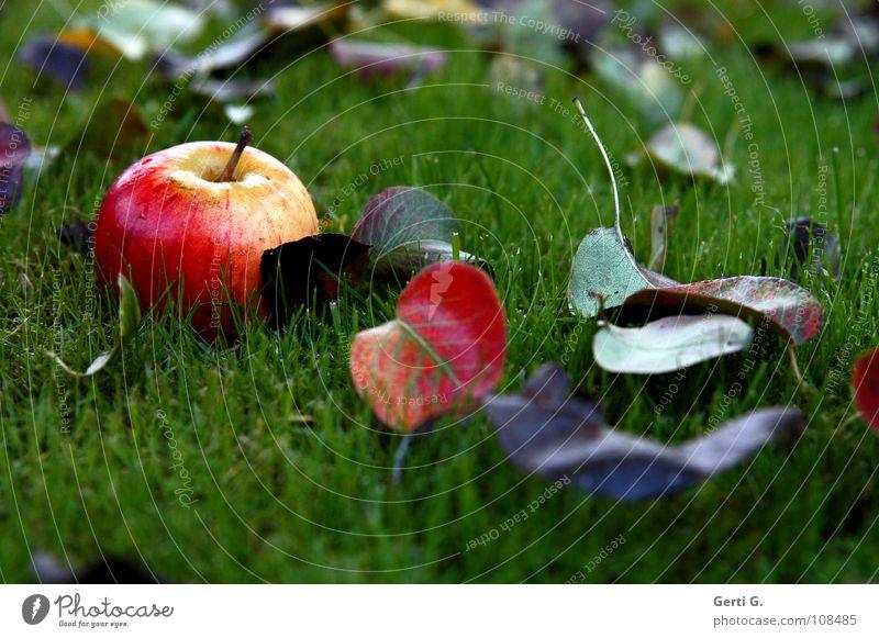 Rotbäckchen rot gelb grün braun mehrfarbig Blatt fruchtig ködern frisch Gesundheit Herbst Eindruck Herbstlaub Wiese saftig nass Blattadern Lebensmittel Frucht