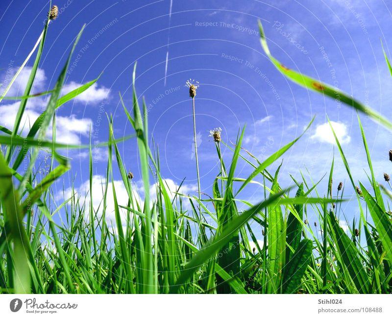 Heuschnupfen Wiese Gras grün Stengel Blume Frühling Sommer Blumenwiese Halm Gegenlicht Wolken Huflattich Kondensstreifen Blüte Hoffnung Reifezeit Vorfreude blau