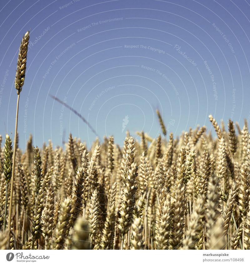 einer wächst schneller Ackerbau Ähren Feld Jahreszeiten Landwirtschaft Pflanze Himmel Sommer Weizen Wiese agricultural crop agriculture cereal cloudless corn