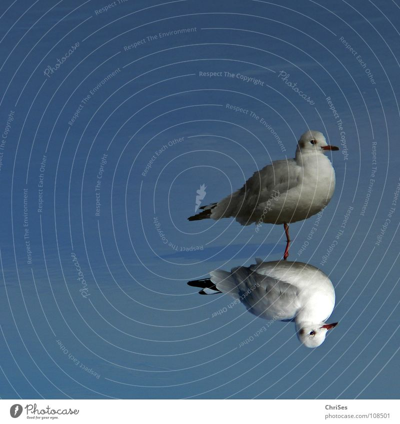 Doppeldecker : Silberkopfmöwe ( Larus novaehollandia ) blau Wasser weiß Meer Tier schwarz Herbst grau See Beine Vogel fliegen Spiegel Möwe Doppelbelichtung Zwilling