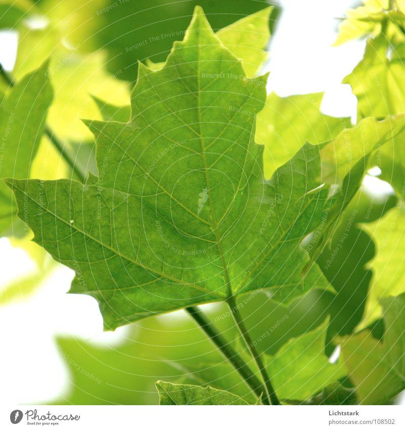 moechte rauf schön alt Baum Sonne grün Sommer Blatt gelb Graffiti hell Kraft groß Ast Ahorn